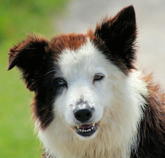 Современные собаки происходят от наименее агрессивных и наиболее сообразительных волков (фото John Haslam/Wikimedia Commons).