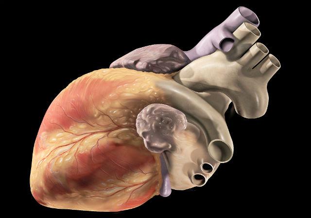 Человеческое сердце является одним из наиболее сложных органов. Чтобы воспроизвести его на 3D-принтере, придётся постараться (иллюстрация Patrick J. Lynch/Wikimedia Commons).