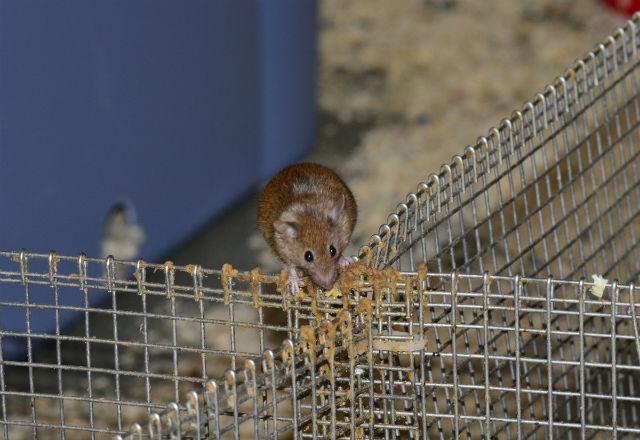 """Самец забрался на разделительную сетку. Видно, что она интенсивно помечена. Благоухающие """"метки"""" указывают другим животным, чья это территория (фото Doug Cornwall, University of Utah)."""
