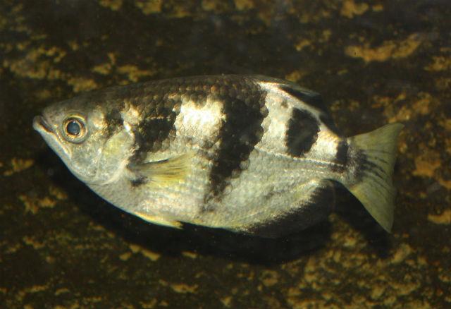 Заметив поблизости насекомое, брызгун выпускает струю воды, которая сбивает мошку и та падает прямо рыбе в пасть (фото Ltshears/Wikimedia Commons).