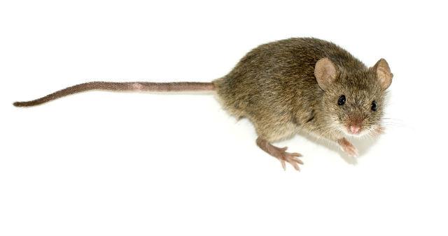 Мыши, проявлявшие симптом аутизма, излечились благодаря бактериям (фото George Shuklin/Wikimedia Commons).