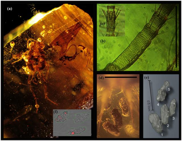 В желудке таракана, сохранившегося в янтаре, были обнаружены небольшие частички гладкой древесины, которые могли попасть туда после того, как насекомое съело фекалии динозавра (иллюстрация Peter Vrsansky).