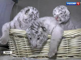 Тигрюля Тимошенко родила тройняшек