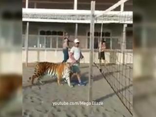В Сети появилось видео, как тигра выгуливают на поводке