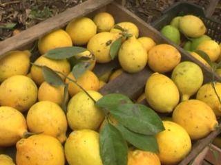Киргизские лимоны готовятся покорить российский рынок