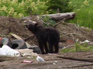 Сахалинские медведи тянутся к людям