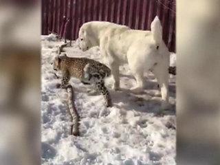Среднеазиатская овчарка взяла под свою опеку детеныша персидского леопарда
